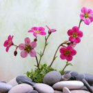 Rock Breaker Mossy Rockfoil Pink Shades Saxifraga x arendsii  - 50 Seeds