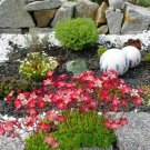 Rock Breaker Mossy Rockfoil Red Shades Saxifraga x arendsii  - 50 Seeds