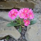 Showy Siskiyou Cliff Maid Lewisia Cotyledon Mix  - 20 Seeds