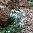 Mountain Alpine Edelweiss Leontopodium alpinum - 100 Seeds