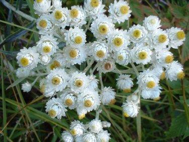Pearly Everlasting White Anaphalis margaritacea - 100 seeds