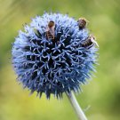Versatile Blue Globe Thistle Echinops Ritro - 20 Seeds