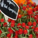 Red Strawberry Fields Globe Amaranth Gomphrena haageana – 50 Seeds