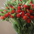 Strawberry Red Globe Amaranth Gomphrena haageana - 50 Seeds