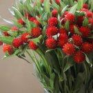 Strawberry Red Globe Amaranth Gomphrena haageana - 50 Seeds