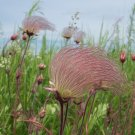 Old Man's Beard Prairie Smoke Geum Triflorum - 50 Seeds