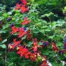 Rare Chilean Quintralito Flame Creeper Tropaeolum speciosum - 5 Seeds