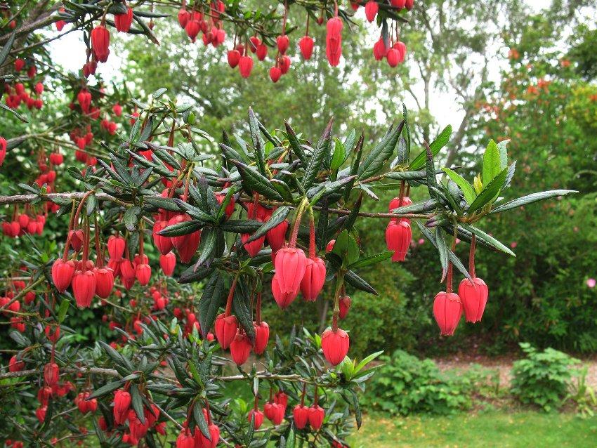 Rare Chilean Lantern Tree Crinodendron hookerianum - 5 Seeds