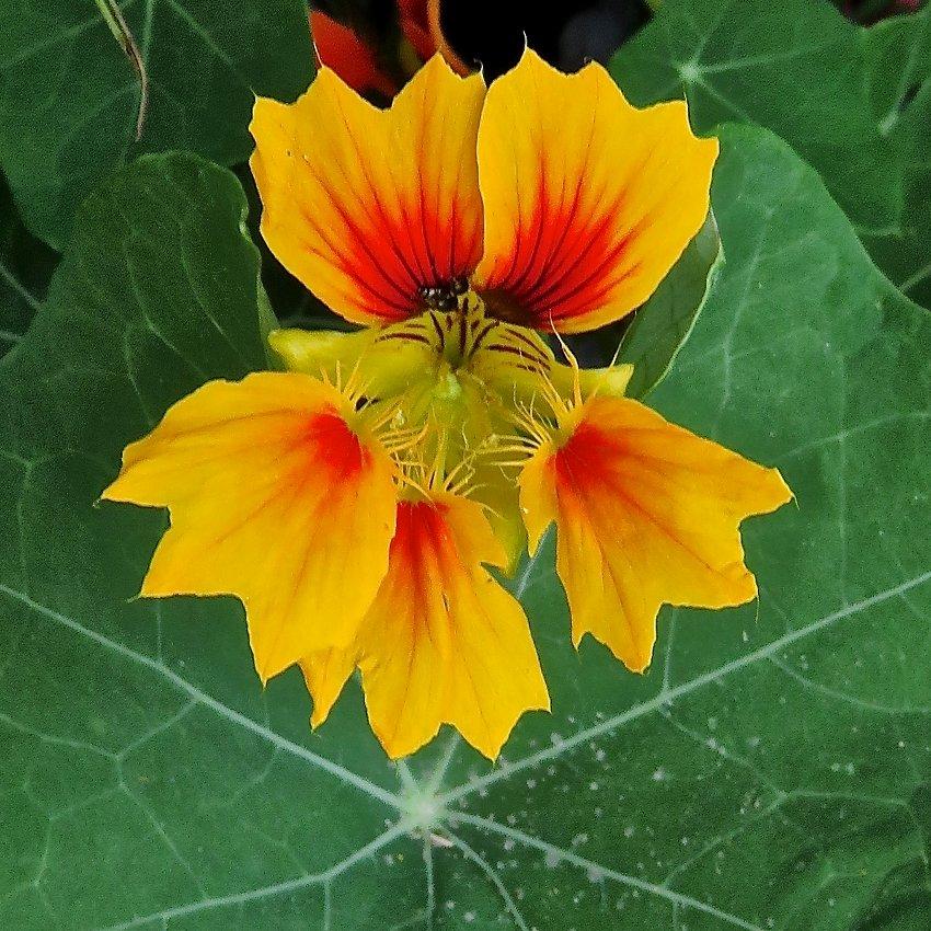 Unusual Nasturtium Phoenix Tropaeolum minus - 12 Seeds