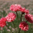 Edible Flowers Organic Cornflower Red Centaurea cyanus - 100 Seeds