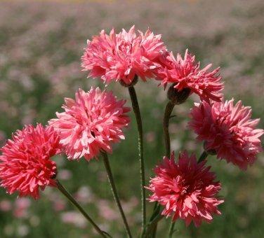 Edible Flowers Organic Cornflower Red Centaurea cyanus - 100 Seeds