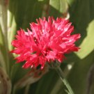 Red Cornflower Bachelor Button Centaurea cyanus - 100 Seeds