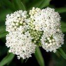 Ice Ballet White Butterfly Milkweed Asclepias Incarnata  - 25 Seeds