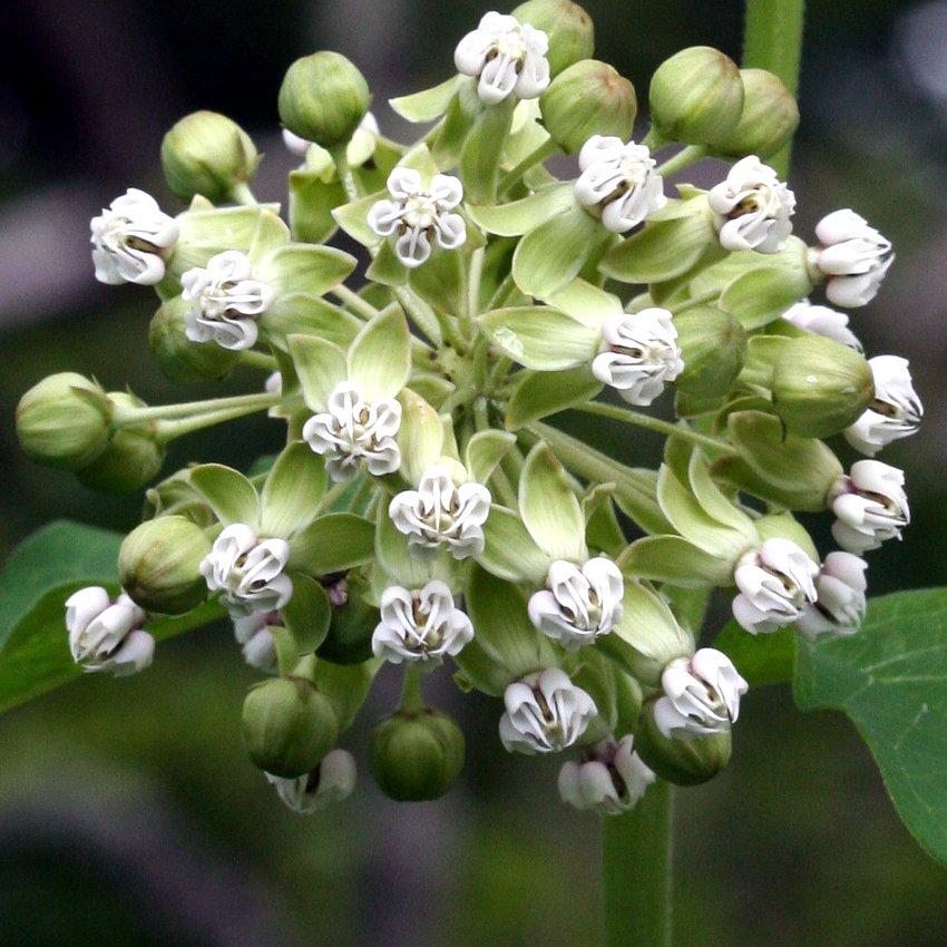 Rare Woodland Shade Butterfly Poke Milkweed White Asclepias Exaltata  - 12 Seeds