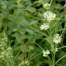 Dainty Whorled Milkweed White Asclepias Verticillata - 30 Seeds