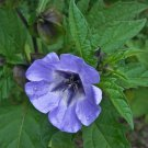 Blue Apple Of Peru Nicandra physalodes - 30 Seeds