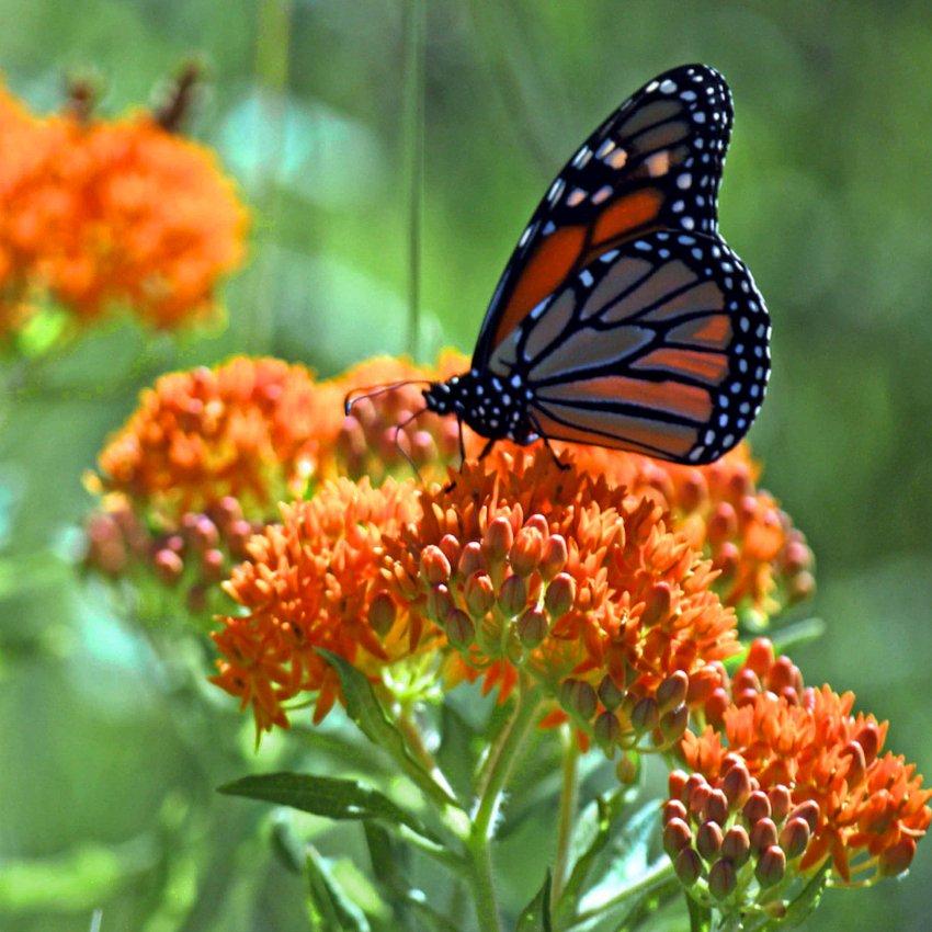 Native Red Orange Butterfly Milkweed Asclepias tuberosa - 30 Seeds