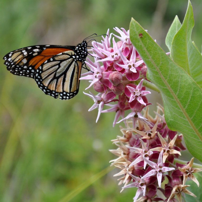 Showy Butterfly Milkweed Asclepias speciosa - 30 Seeds