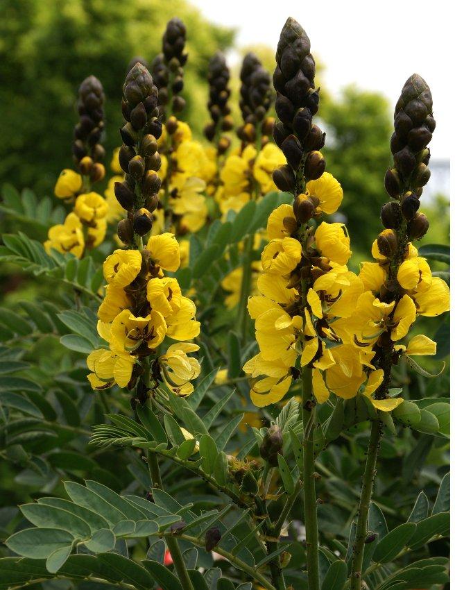 Rare Buttered Popcorn Plant Senna Didymobotrya 15 Seeds