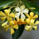 Rare Australian Native Frangipani Hymenosporum Flavum - 8 Seeds