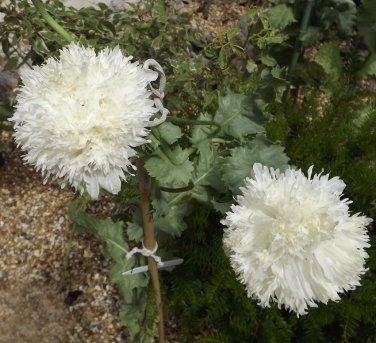 White Peony Poppy Papaver Paeoniflorum 'White Cloud' - 100 Seeds