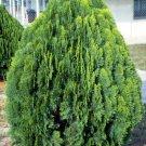 Conifer Chinese Arborvitae Platycladus Thuja orientalis - 25 Seeds