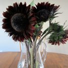 'Dark Chocolate' Sunflower Helianthus annuus - 20 Seeds