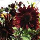 Elegant Maroon Red Sunflower 'Rosewood' Helianthus annuus - 40 Seeds