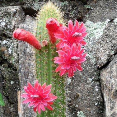 Rare Bolivian Cactus Succulent Cleistocactus Samaipatanus - 15 Seeds