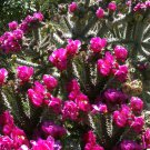 Cane Cholla Chain Link Cactus Hardy Cylindropuntia imbricata - 15 Seeds