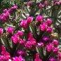 Cane Cholla Chain Link Cactus Hardy Cylindropuntia imbricata - 15 Seeds