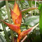 Tropical Colombian Orange Splash Heliconia Champneiana - 5 Seeds