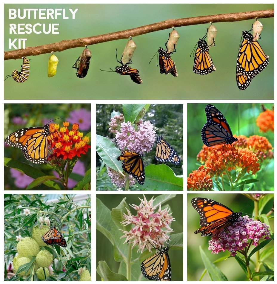 Butterfly Rescue Kit Milkweed Seed Gift - 6 Varieties