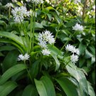 True European Ramsons Wild Bear's Garlic Allium ursinum - 50 Seeds