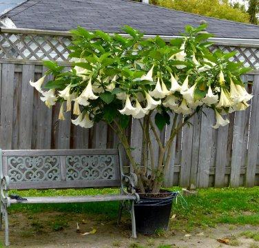 White Brugmansia Angel Trumpet Brugmansia arborea - 5 Seeds