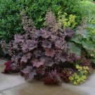 Coral Bells 'Palace Purple' Heuchera micrantha diversifolia - 50 Seeds