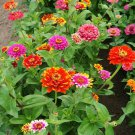Zinnia Bold Swirls Mixed Zinnia elegans - 50 seeds