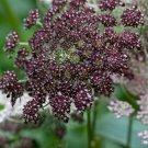 Chocolate Lace Flower Dara Daucus carota - 40 Seeds