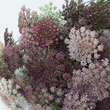 Chocolate Lace Flower Daucus carota - 40 Seeds