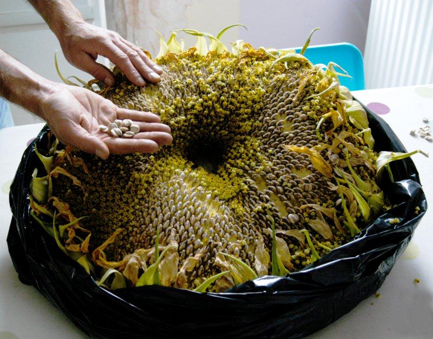 Organic 'Titan' Giant Sunflower Helianthus annuus - 30 Seeds