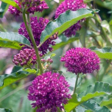Rare Purple Milkweed Native Asclepias purpurascens - 10 Seeds