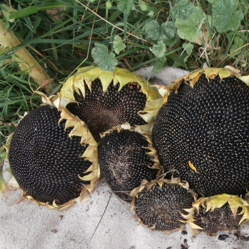 Giant True Russian Semetschki Sunflower Helianthus annuus - 40 Seed