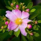 Succulent Ora Pro Nobis Pink Rose Cactus Scarce Pereskia grandiflora - 5 Seeds