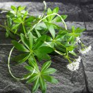 Organic Wild Waldmeister Sweet Woodruff Herb Galium odoratum - 20 Seed