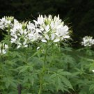 Exotic Spider Flower Bright White Cleome hassleriana - 100 Seeds