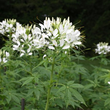 Exotic spider flower bright white cleome hassleriana 100 seeds mightylinksfo