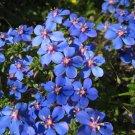 Electric Blue Pimpernel Anagallis monelli - 100 Seeds