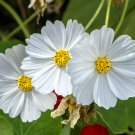 Cosmos Purity White Cosmos bipinnatus - 100 Seeds