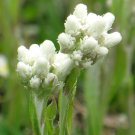 Plantain-Leaf Pussytoes Antennaria plantaginifolia - 100 Seeds