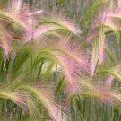 Ornamental Squirrel Tail Grass Hordeum jubatum - 100 Seeds